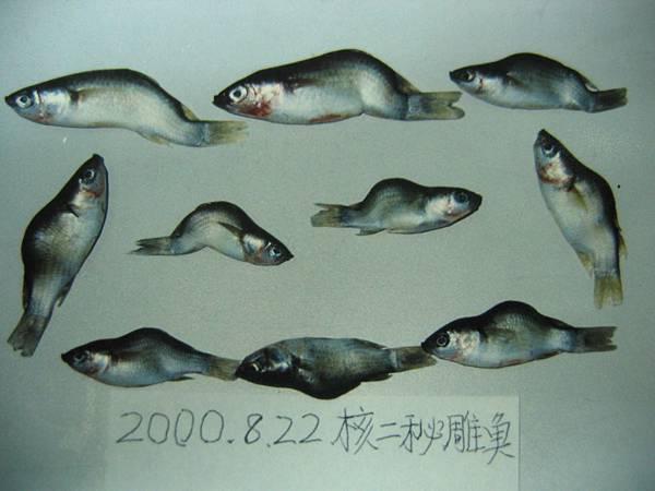 秘雕魚-1