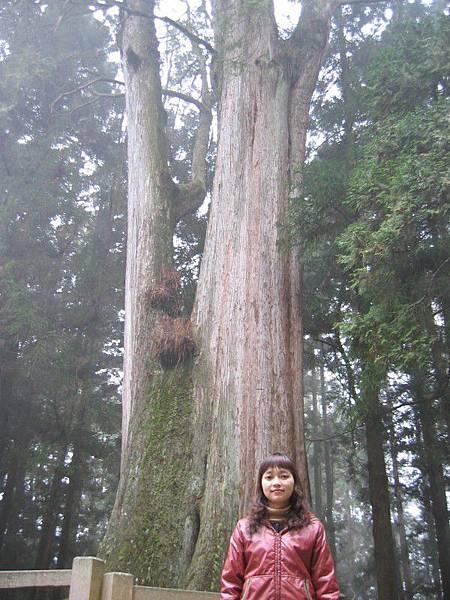 「千歲檜」,很帥的神木,約2,000歲