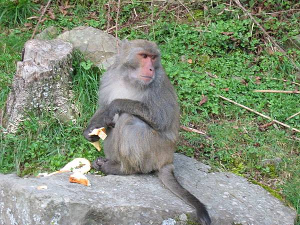 台灣彌猴,這隻是猴王,手上的土司是牠衝到人群裡搶的,吃的時候還會去邊