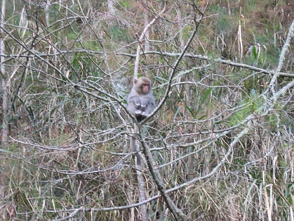 這隻是小猴子,只能躲在最高的樹上看猴王吃