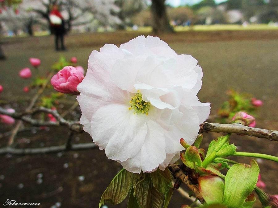 2013一葉櫻 (13).JPG