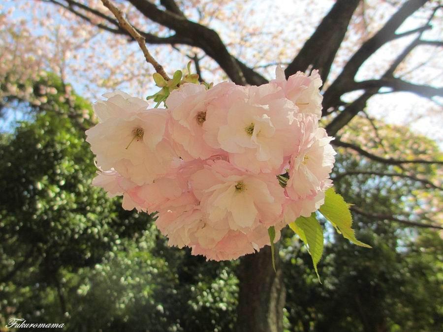 2013一葉櫻 (17).JPG