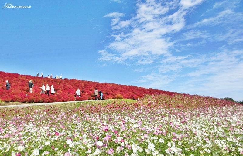 2012日立海濱公園地膚子 (2).JPG