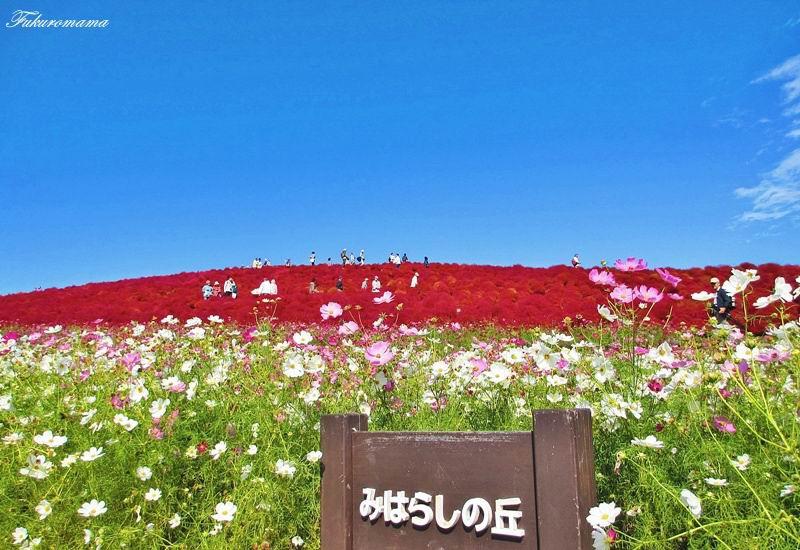 2012日立海濱公園地膚子 (3).JPG
