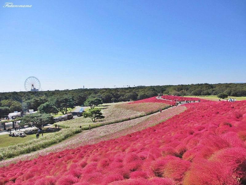 2012日立海濱公園地膚子 (6).JPG