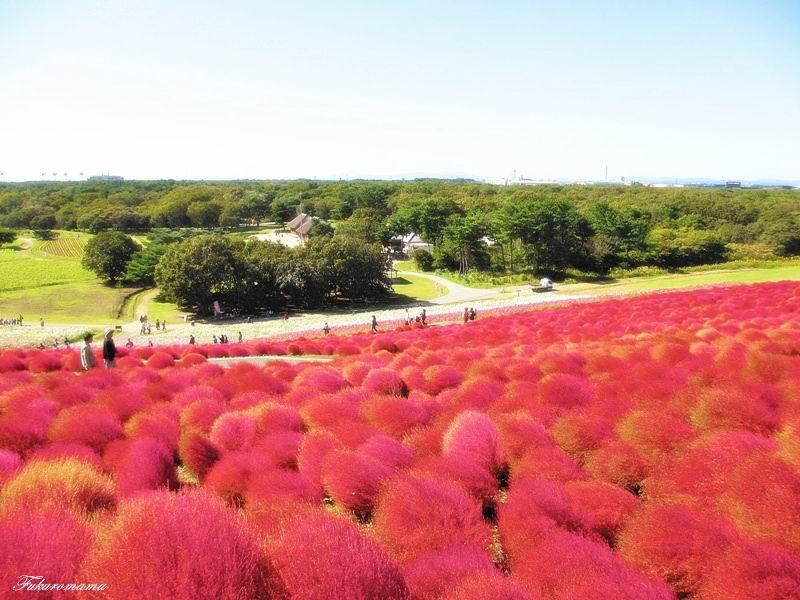 2012日立海濱公園地膚子 (14).JPG