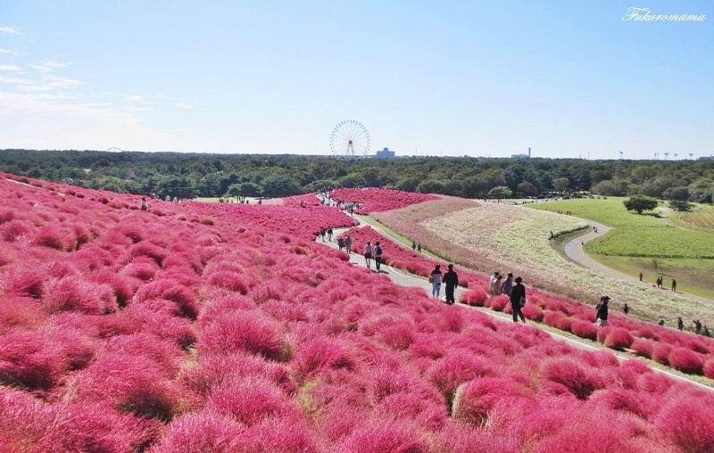 2012日立海濱公園地膚子 (21).JPG