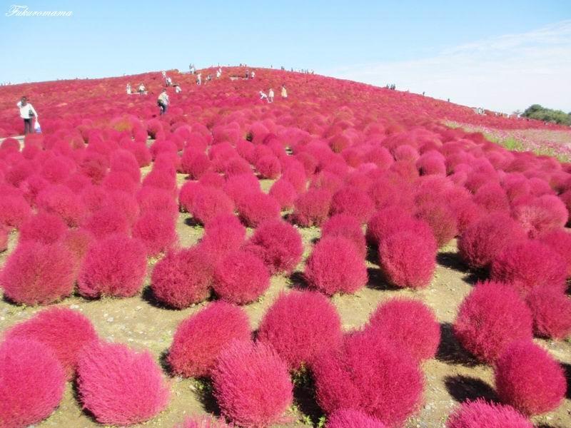 2012日立海濱公園地膚子 (42).JPG