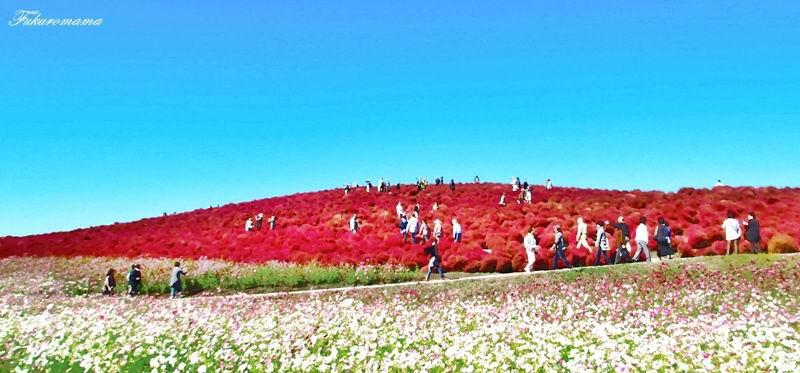 2012日立海濱公園地膚子 (46).JPG