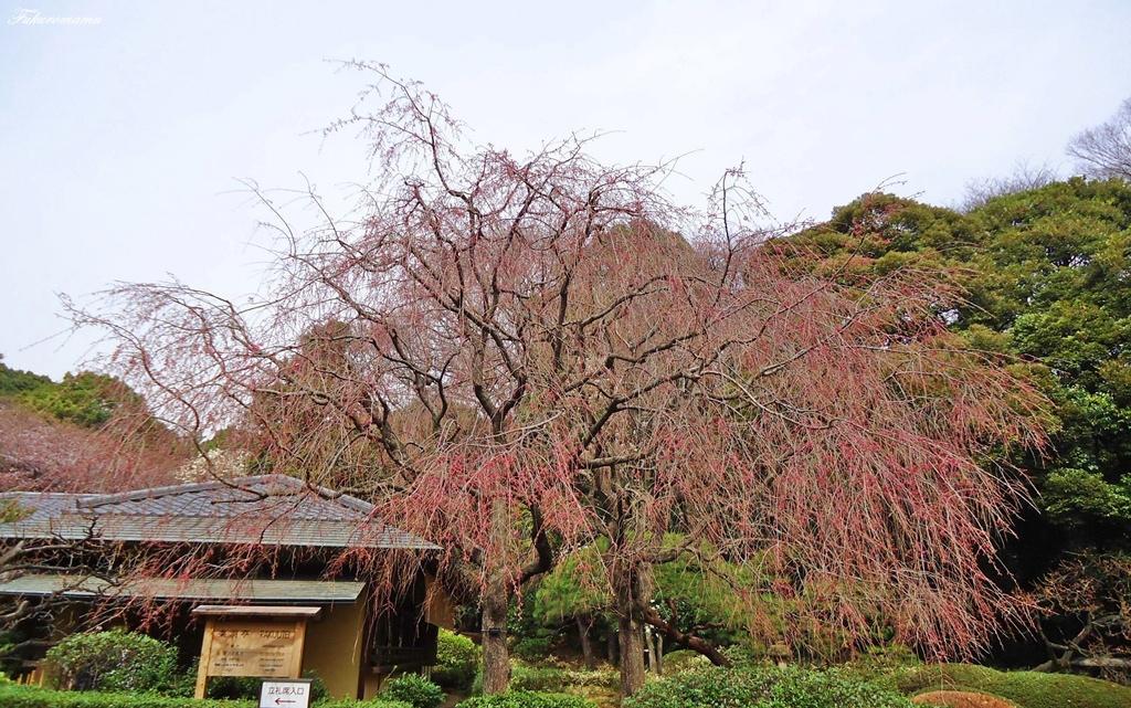 加框八重紅枝垂櫻 (3).JPG