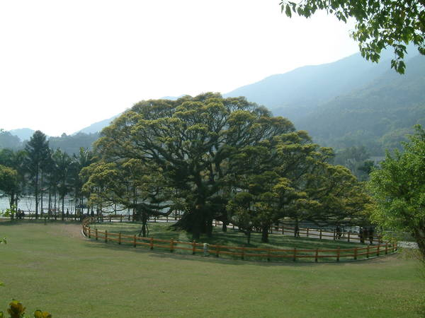 百年大樹.JPG