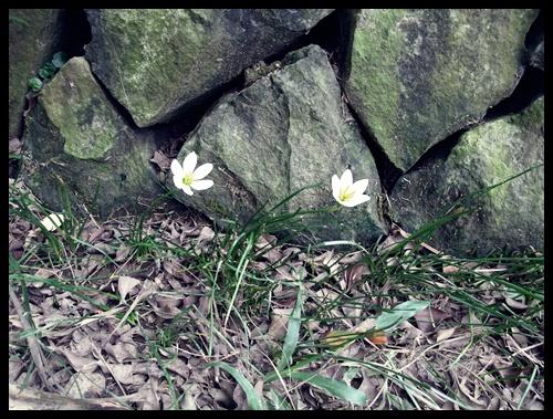 在石頭縫細中努力求生存的小花