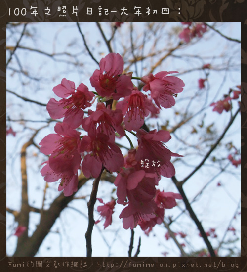 13-櫻花綻放