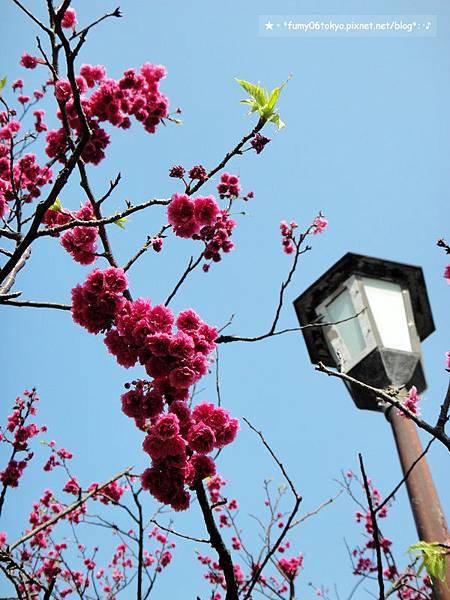 2013陽明山花季賞櫻