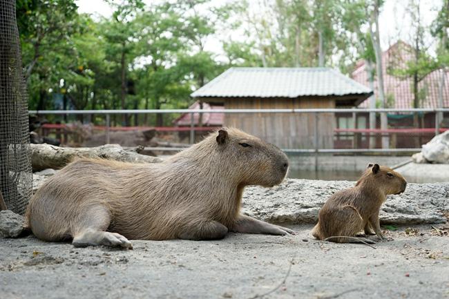 南美水豚又稱百斤大老鼠,是世界最大嚼齒動物,圓嘟嘟身材卻生性害羞,.JPG