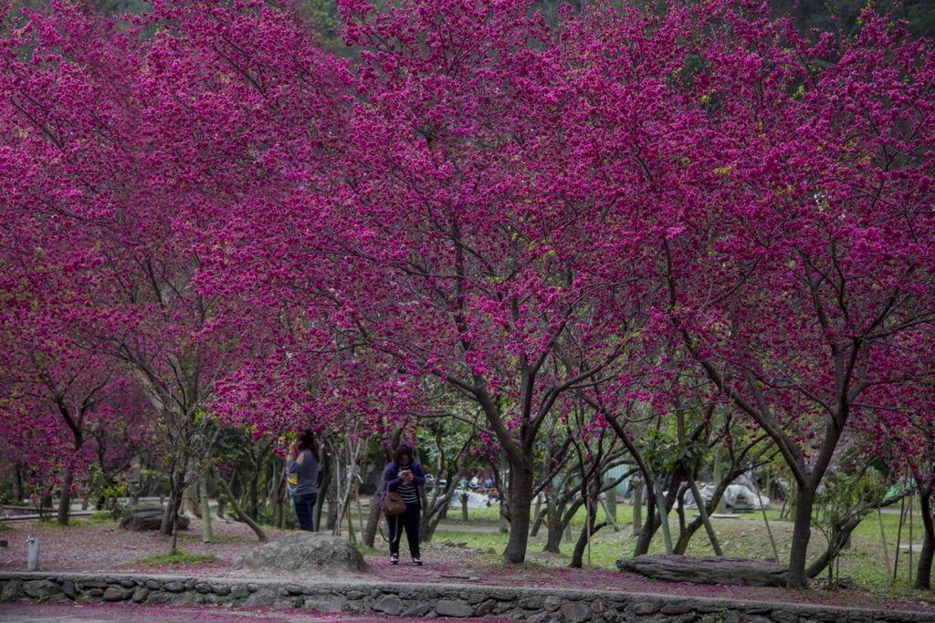 2-3月園區內數百顆美麗的櫻花同時盛開綻放.jpg