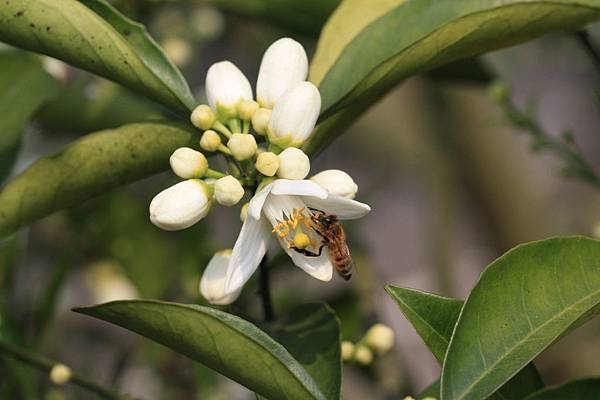 柳丁花12.jpg
