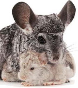 chinchilla-r.jpg
