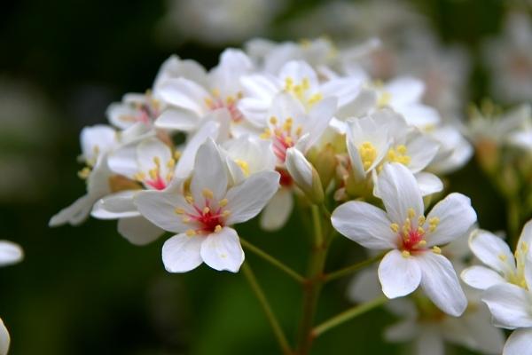 白色的油桐花
