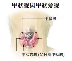230px-Illu_thyroid_parathyroid_zh.png