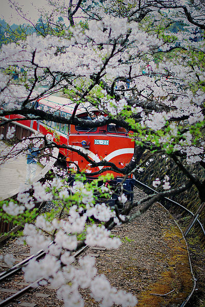 阿里山國家風景區_櫻花季