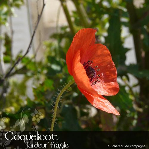 Coquelicot-2.jpg