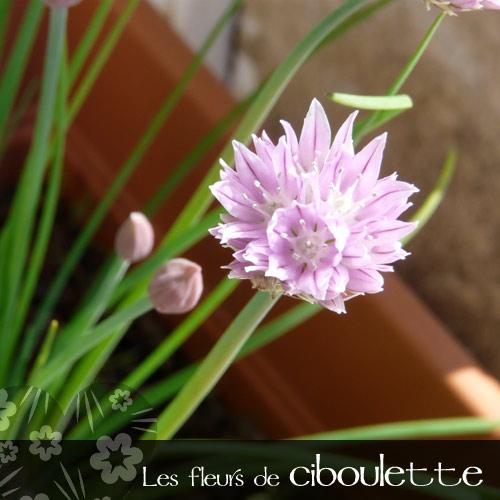 Ciboulette-1.jpg