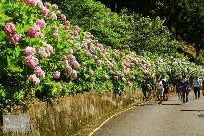 杉林溪繡球花15