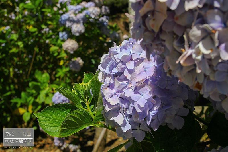 杉林溪繡球花21