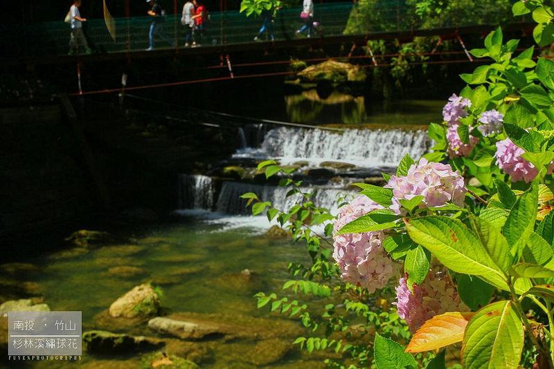 杉林溪繡球花28