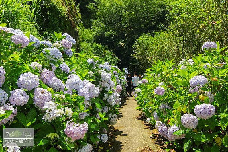 杉林溪繡球花47