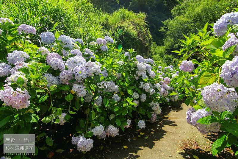 杉林溪繡球花48