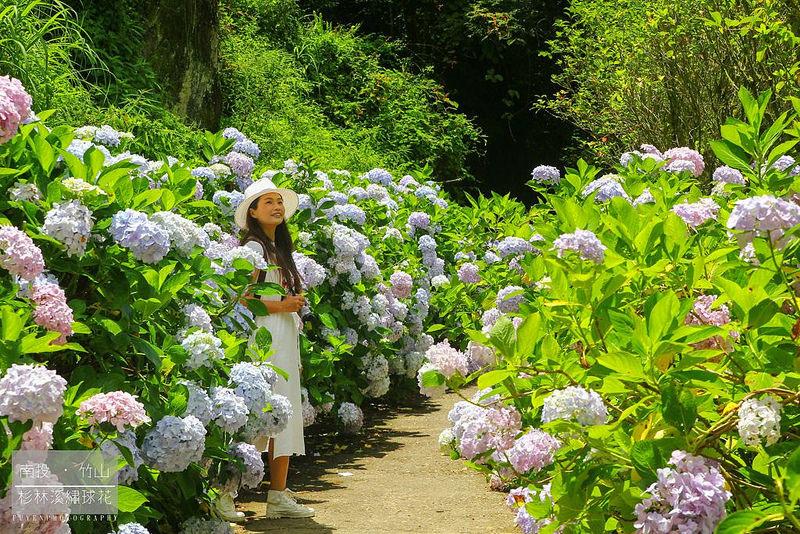 杉林溪繡球花52