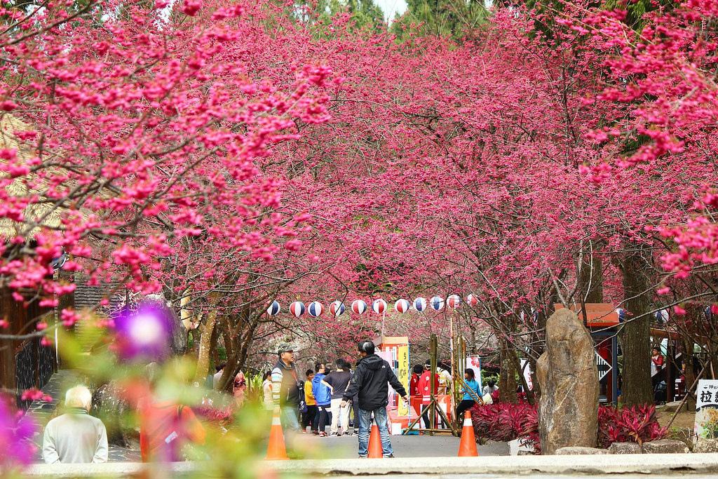 九族櫻花祭 (147)