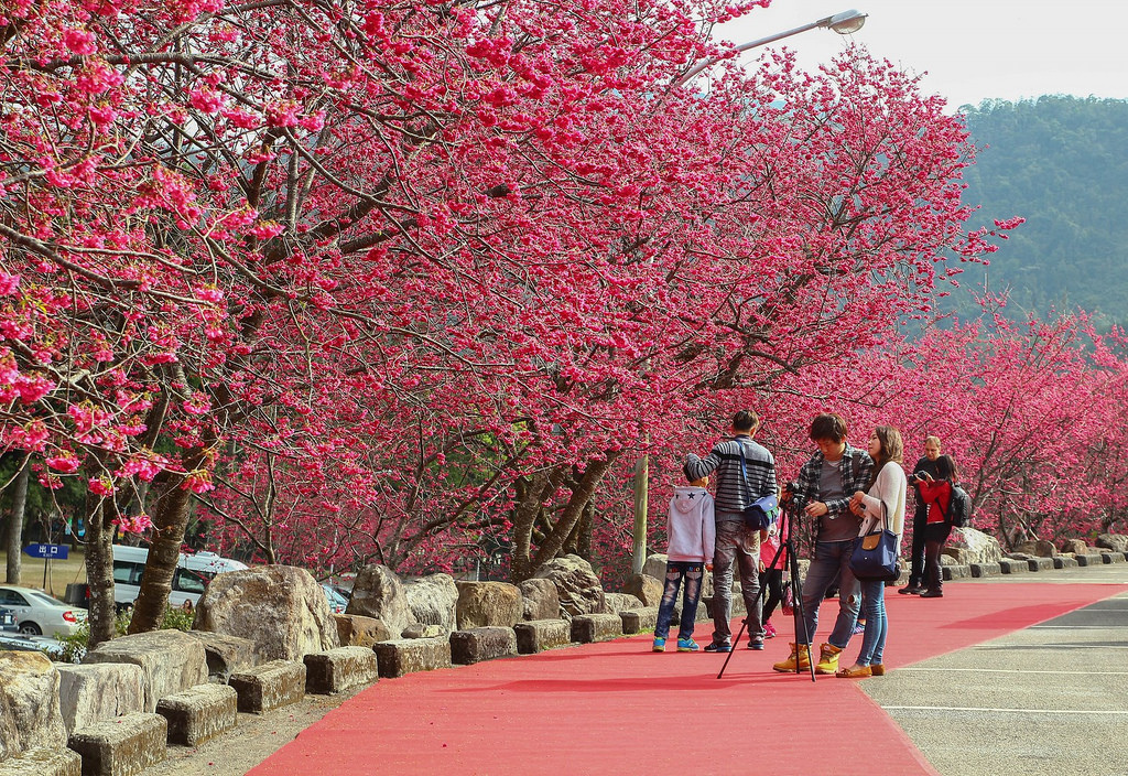 九族櫻花祭 (129)