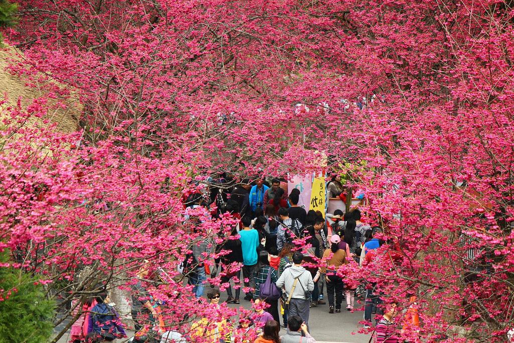 九族櫻花祭 (152)