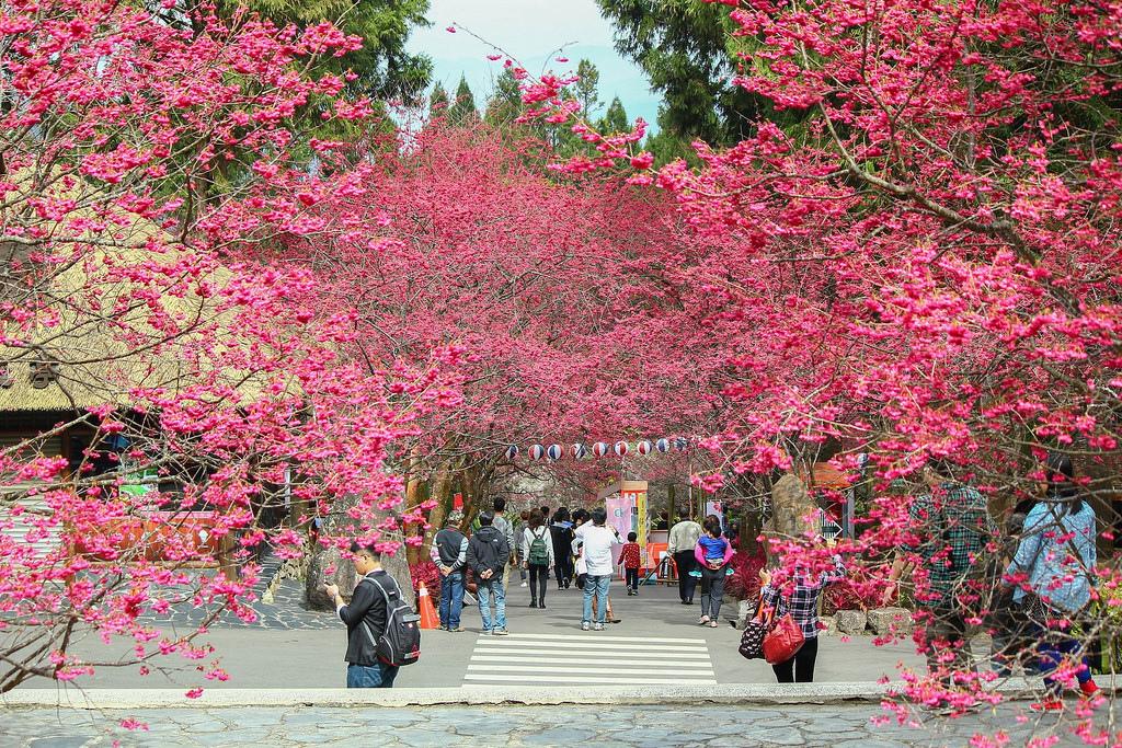 九族櫻花祭 (143)