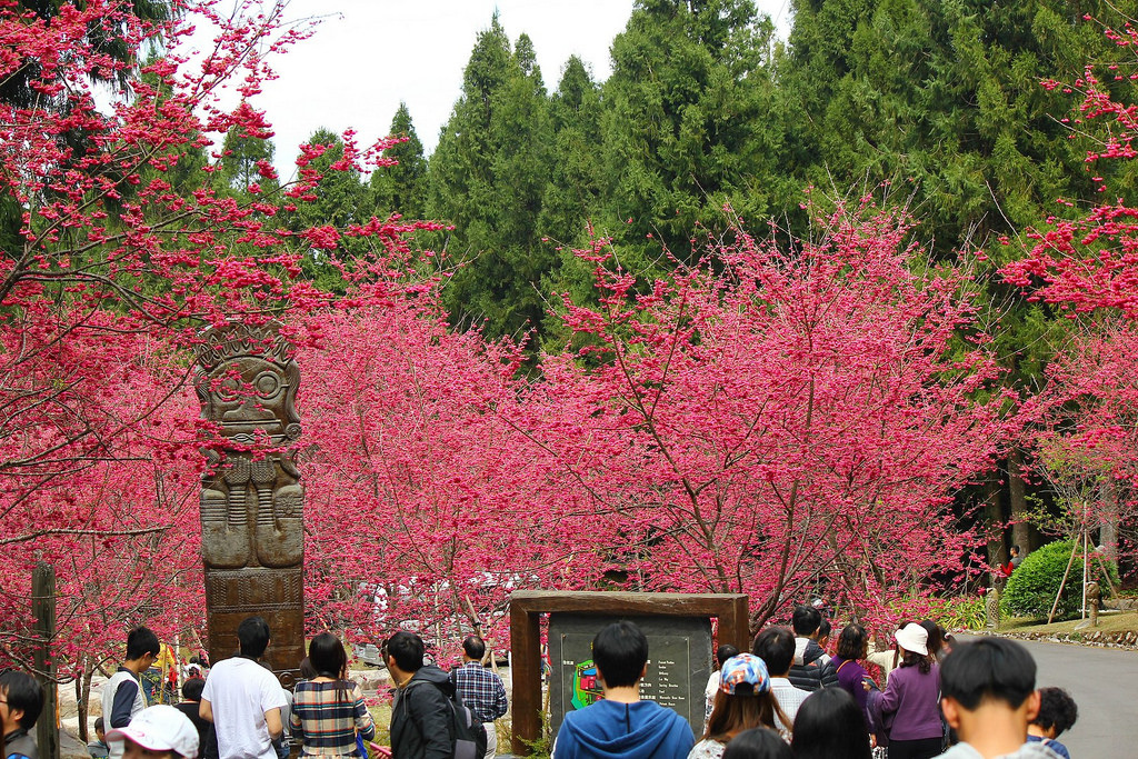 九族櫻花祭 (171)