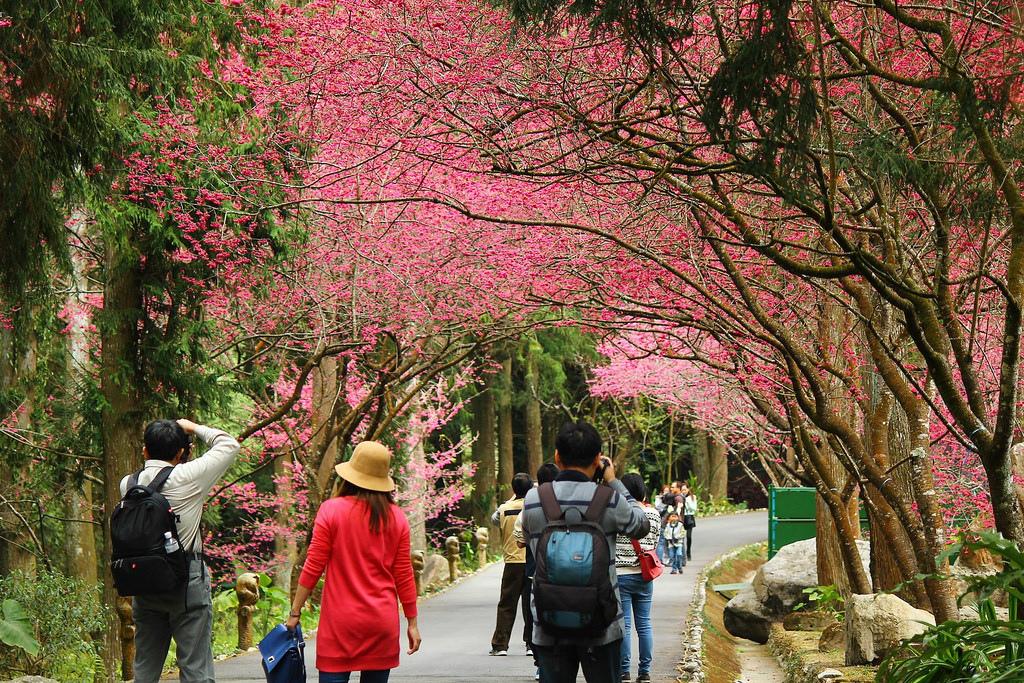 九族櫻花祭 (173)