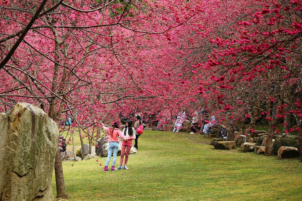九族櫻花祭 (178)