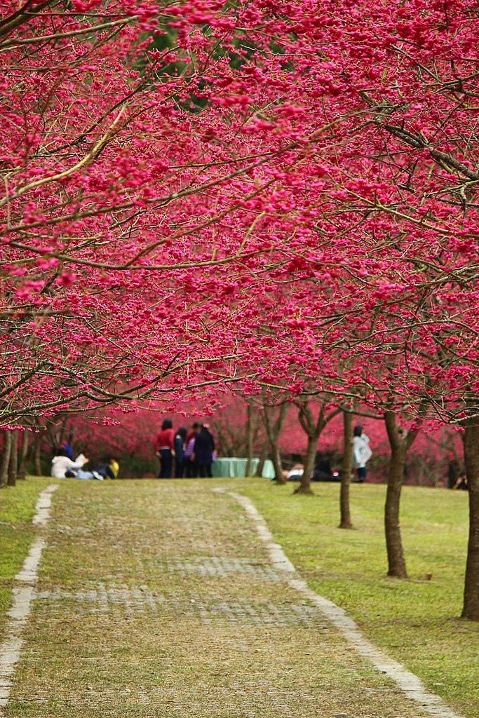 九族櫻花祭 (5)