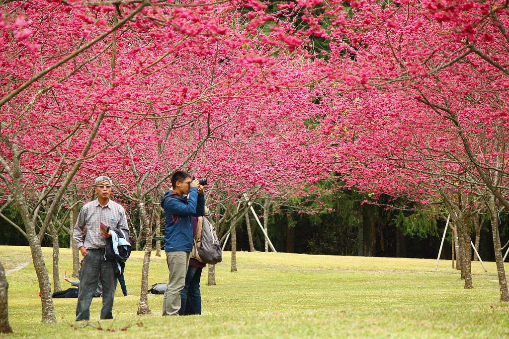 九族櫻花祭 (10)