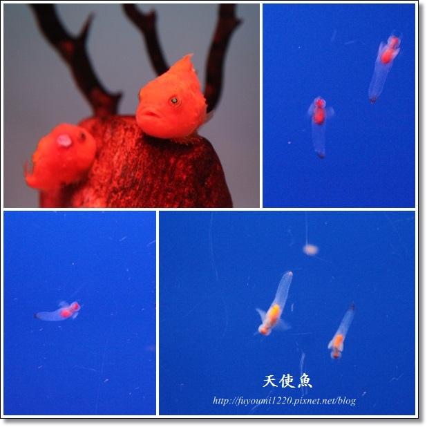 天使魚.jpg