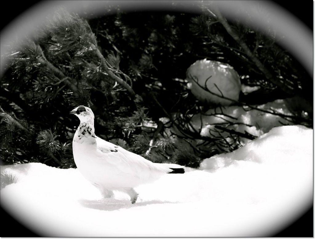 雷鳥 (12).jpg