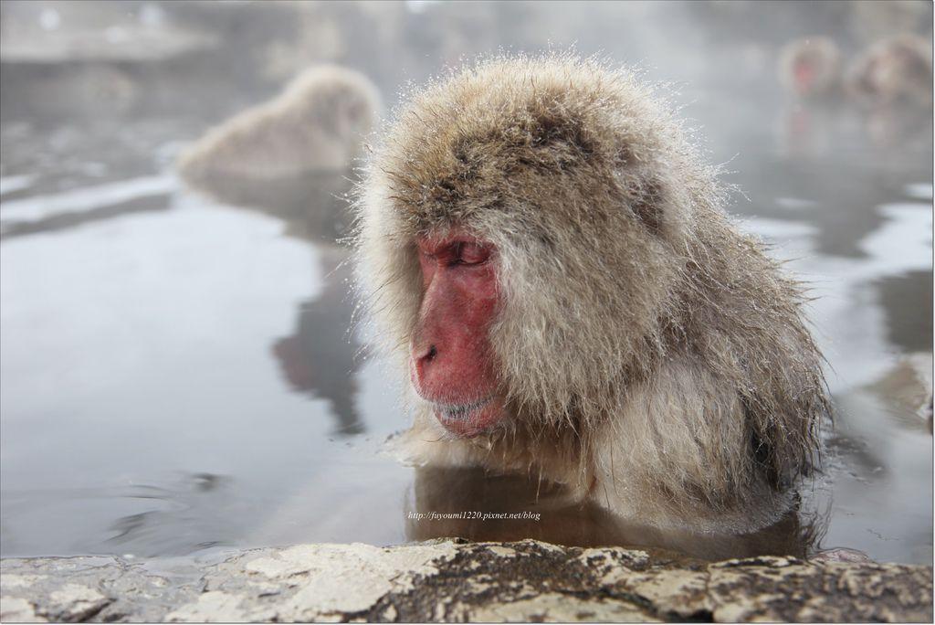 地獄谷野猿 (22).JPG