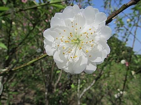 杏花林131IMG_2725.JPG