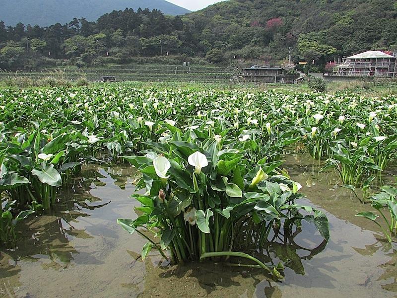 竹子湖300IMG_3201.JPG