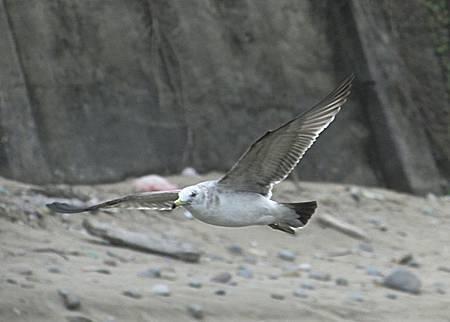 老梅黑尾鷗205IMG_6511.JPG