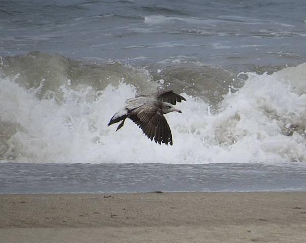 二黑尾鷗205IMG_3342.JPG