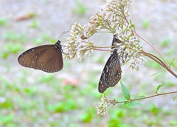 紫斑蝶與基隆澤蘭.JPG